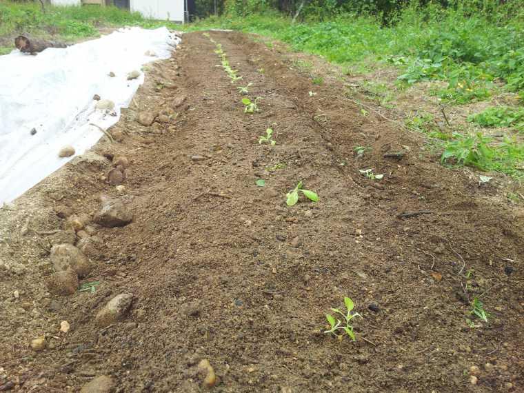 大根の横に畝を作って苗を移植