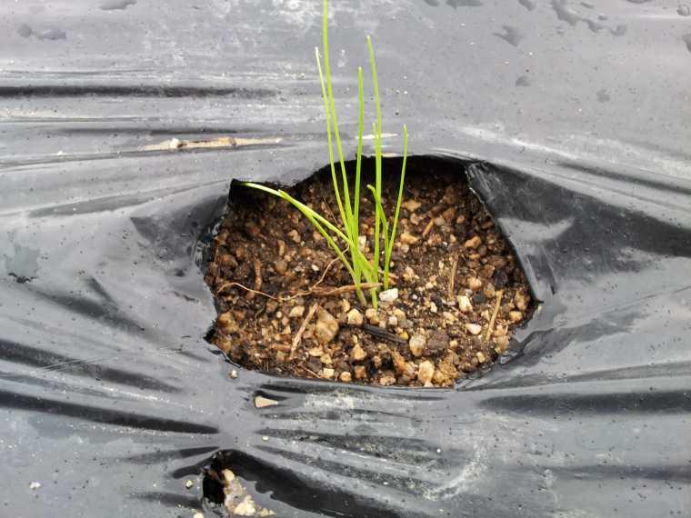 植え替えた玉ねぎはどうも弱々しい。既に枯れてしまった苗もある。少し肥料を足した方が良いかもしれない。