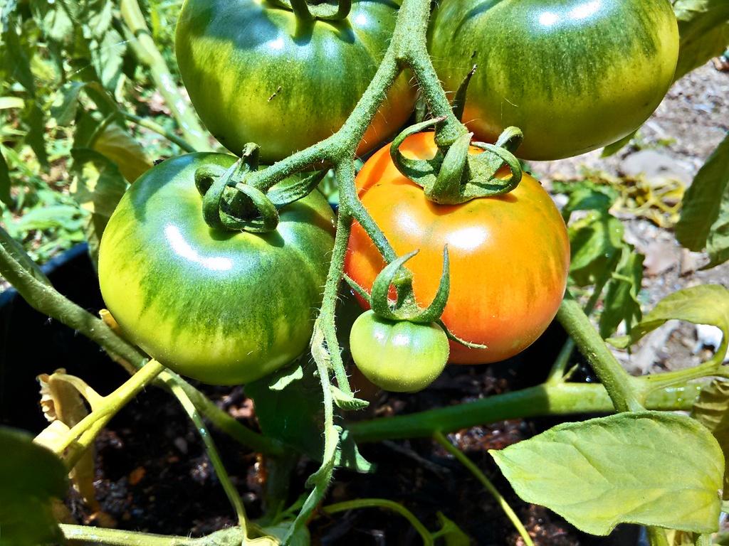 トマト色づく