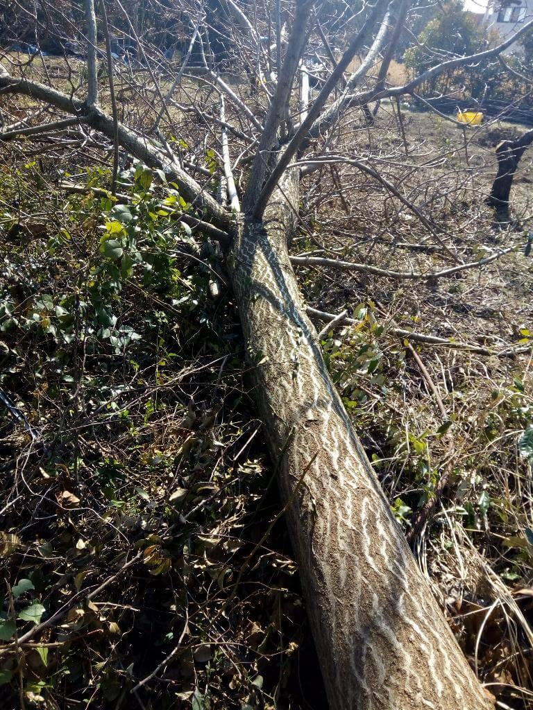 倒木後の後始末